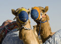 Happy Camels Royalty Free Stock Photos