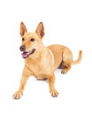 Happy Carolina Dog Laying Down Royalty Free Stock Photo