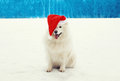 Happy cheerful white Samoyed dog wearing a red santa hat on snow in winter