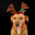 Happy Christmas dog Stock Image