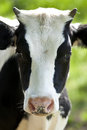 Happy cow Stock Images
