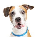 Happy Crossbreed Big Dog Closeup Royalty Free Stock Photo