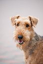 Happy cute adult airedale terrier dog portrait Royalty Free Stock Photos
