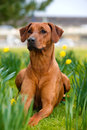 Happy cute rhodesian ridgeback dog in the spring field portrait of yellow daffodils Royalty Free Stock Images