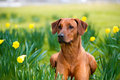 Happy cute rhodesian ridgeback dog in the spring field portrait of yellow daffodils Stock Image