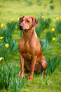 Happy cute rhodesian ridgeback dog in the spring field portrait of yellow daffodils Stock Photo