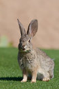 Happy desert cottontail rabbit a in green grass with a smile Royalty Free Stock Images