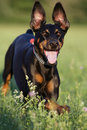 Happy Doberman dog Stock Images