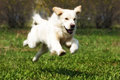 Happy dog golden retriever quickly runs and jumps in the summer in nature if frozen in flight over the earth Stock Photo