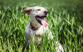 Happy dog in green wheat Royalty Free Stock Photo