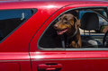 A happy dog hangs his head out a car window summer is here Royalty Free Stock Photo