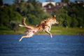 Happy dog jumping up in the water border collie Stock Photos