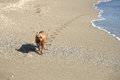 Happy dog leaving paw prints on Singer Island Beach Royalty Free Stock Photo