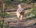 Happy dog running through the woods healthy wheaten terrier Stock Photography