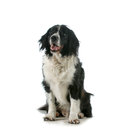 Happy dog spaniel sitting with tongue out panting on white background Royalty Free Stock Photo