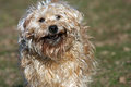 Happy dog with stick wheaten terrier looking a in his mouth Royalty Free Stock Image