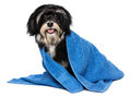 Happy dry havanese puppy dog after bath is dressed in a blue tow towel isolated on white background Stock Photos