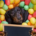 Happy easter dog with eggs Royalty Free Stock Photo