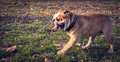 Happy English bulldog Royalty Free Stock Photo