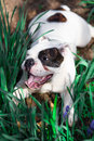 Happy English Bulldog Royalty Free Stock Photo
