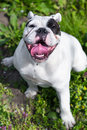 Happy English Bulldog relaxing Royalty Free Stock Photo