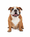 Happy English Bulldog Sitting Royalty Free Stock Photo