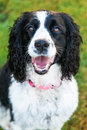 Happy english springer spaniel dog outside closeup close up photo of a and smiling on a grassy yard Royalty Free Stock Image