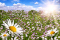 Happy Field of Colorful Daisies With Bright Sun Fl Royalty Free Stock Image