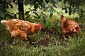 Happy, free chicken in the garden Stock Images