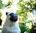 Happy funny lovely pug fat dog playing outdoor in green area with beautiful nice colorful bokeh background Royalty Free Stock Photography
