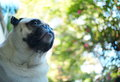Happy funny lovely pug fat dog playing outdoor in green area with beautiful nice colorful bokeh background Stock Photos