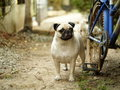 Happy funny lovely pug playing outdoor in green field Royalty Free Stock Photography