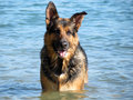Happy german shepherd dog playing in the sea an Stock Photos
