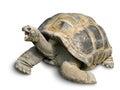 Happy Giant Tortoise On White