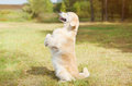 Happy golden retriever dog on grass standing on its hind legs profile side view Stock Images
