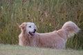 Happy Golden Retriever dog standing in field looking alert Royalty Free Stock Photo