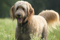 Happy Golden Doodle Dog Royalty Free Stock Photo
