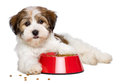 Happy havanese puppy dog is lying beside a red bowl of dog food bichon and looking at camera semi frontal view isolated on white Royalty Free Stock Photography