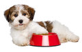 Happy havanese puppy dog is lying beside a red bowl of dog food bichon and looking at camera side view isolated on white Stock Images