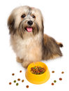 Happy havanese puppy is sitting next to her favorite dry food bichon some scattered around isolated on white background Royalty Free Stock Photography