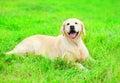 Happy joyful Golden Retriever dog is lying resting Royalty Free Stock Photo