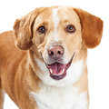 Happy labrador and beagle crossbreed dog closeup close up photo of a friendly retriever Royalty Free Stock Photo