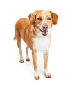 Happy Labrador and Beagle Crossbreed Dog Standing Royalty Free Stock Photo