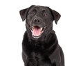 Happy Labrador Retriever Dog Head Shot Royalty Free Stock Photo