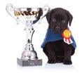 Labrador retriever puppy dog sitting near a big trophy Royalty Free Stock Photo