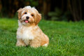 Happy little havanese puppy is sitting in the grass Royalty Free Stock Photo