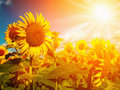 Happy meadow sunflowers field under golden summer sun Royalty Free Stock Photos