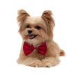 Happy mixed breed dog with red bow tie isolated in white background with clipping path Royalty Free Stock Images