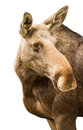 Happy moose looking young giving an over the shoulder pose isolated on white Stock Image