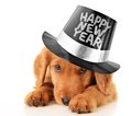 Happy new year puppy shy wearing a top hat Royalty Free Stock Images